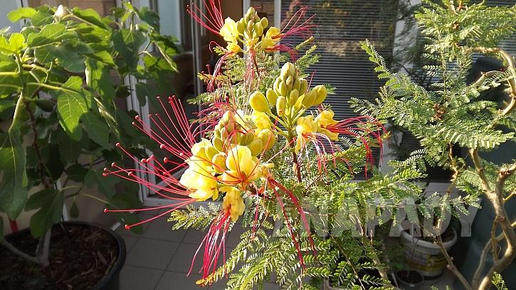 Sapan Gilliesův (CaesalpiniaGilliesii)má velmi atraktivní a příjemně vonící květy