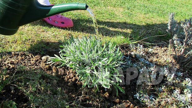Jak zasadit na zahradě levanduli 6