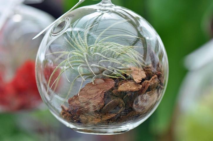 Tilandsie je skvělá rostlinka pro mechové terárium ve skle