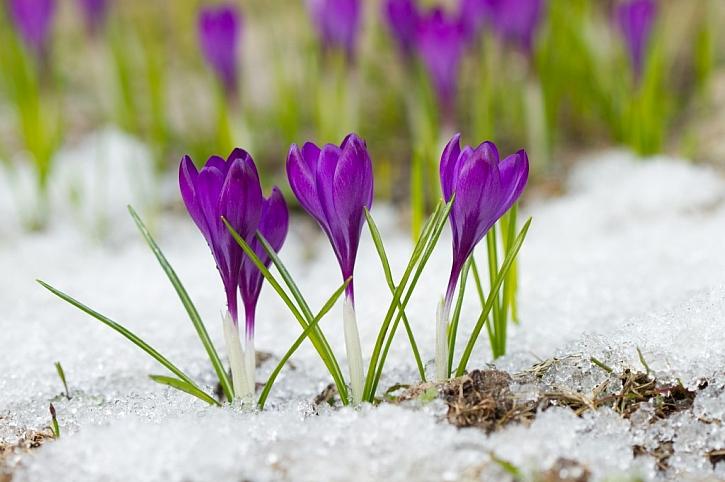 Kvetení začíná ještě v době, než odtaje poslední zbytek sněhu