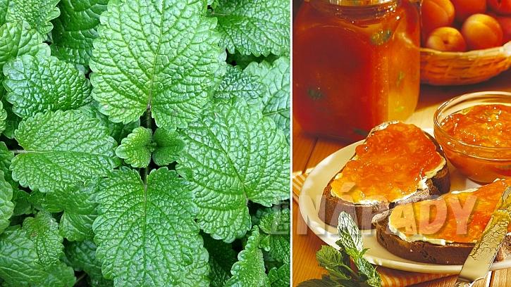 Máta peprná (Mentha piperita): meruňkový džem pro chuť a dobré zažívání