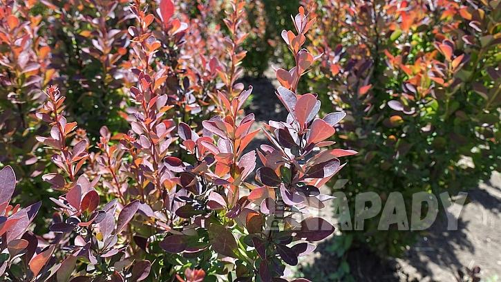 Rostliny vhodné do živého plotu: dřišťál(Berberis)