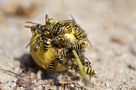 Otravné a nebezpečné vosy útočí na zrající ovoce. Jak je vypudit?