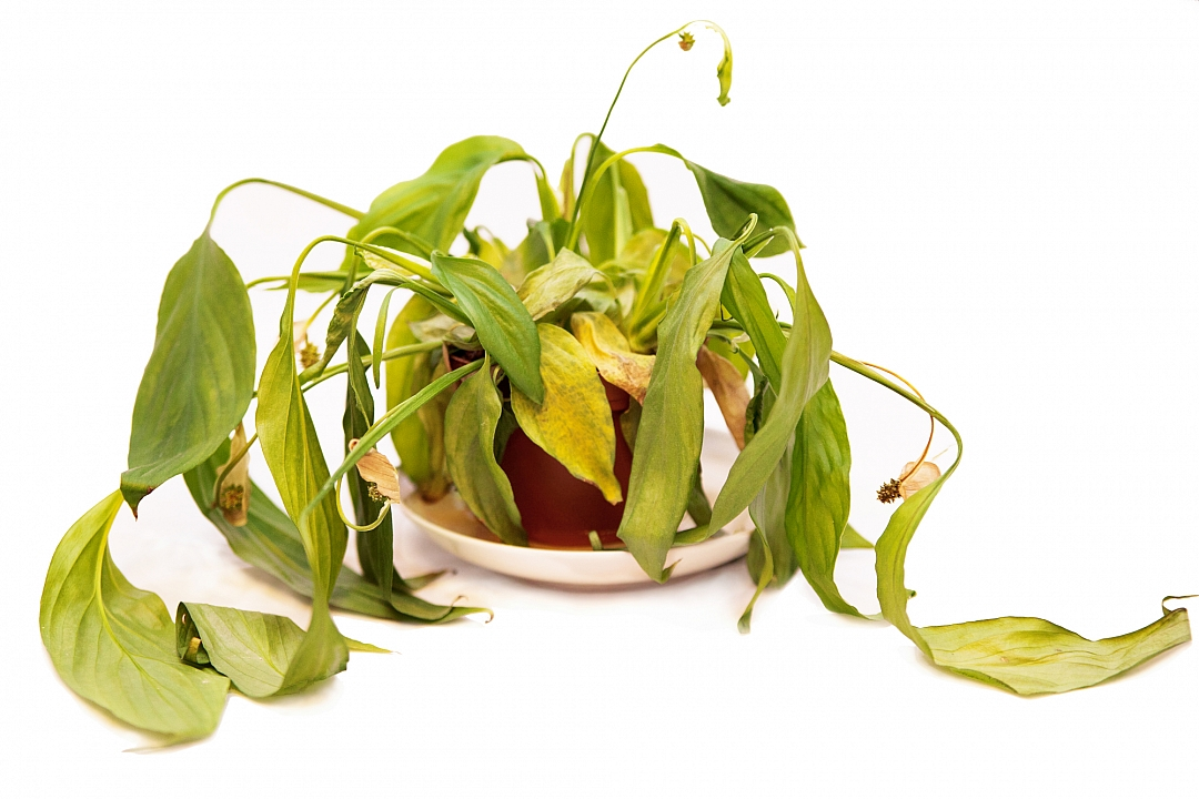obrázek tématu: Choroby rostlin