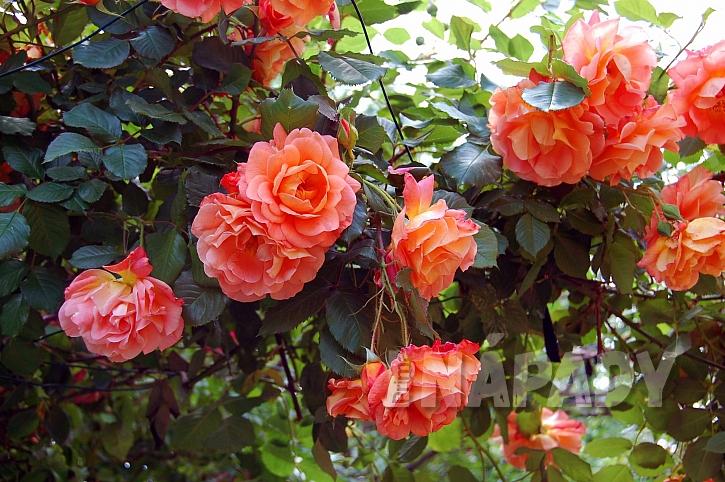 Růže, královny květin (Zdroj: Depositphotos.com)