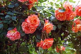 Růže, královny květin – jak vybrat sazenice růží?