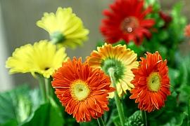Barevné gerbery: Marnivé krásky vkvětináči