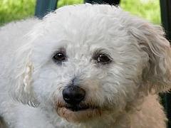 Boloňský psík: Malý chlupáč scitlivou amilující duší