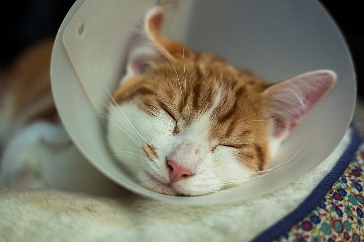 Kastrace koček: proč a kdy kastrovat a jaká jsou rizika antikoncepce? (Zdroj: Depositphotos)