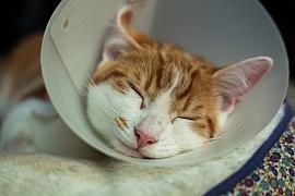Kastrace koček: proč a kdy kastrovat a jaká jsou rizika antikoncepce?