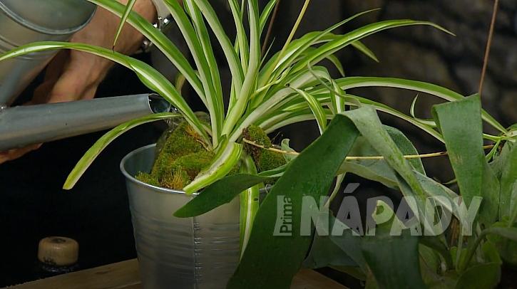 Epifyty: I zelenec můžete pěsrovat jako epifyt