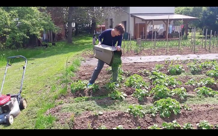 Mulčování brambor v akci.