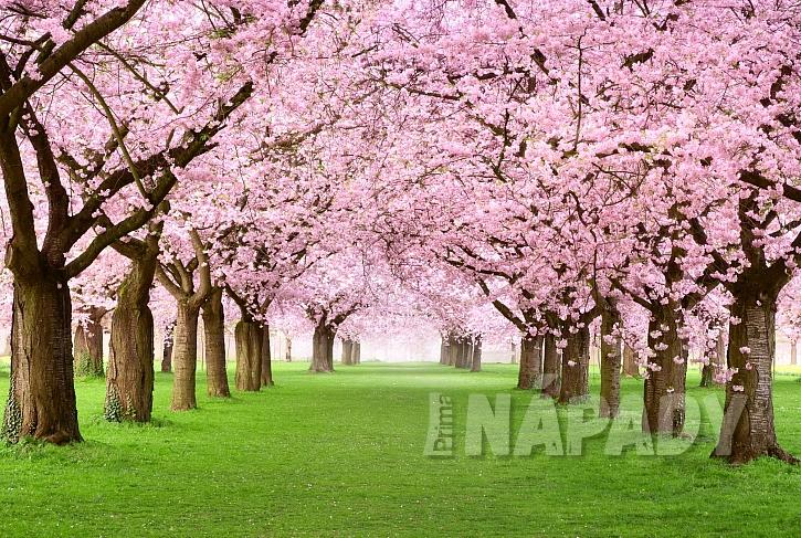 Kvetoucí sakury patří neodmyslitelně do japonské zahrady (Zdroj: Depositphotos.com)