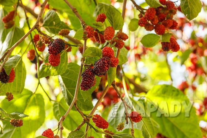 Morušovníky jsou dekorativní stromy, v létě obsypané plody (Zdroj: Depositphotos.com)