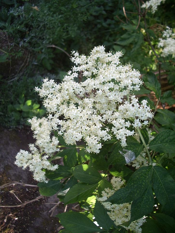 Černý bez-květ
