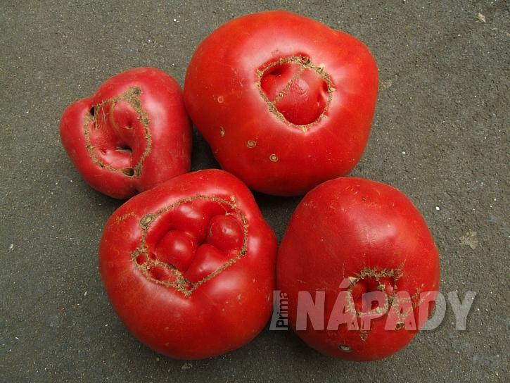 Kočičí tvář u rajčat