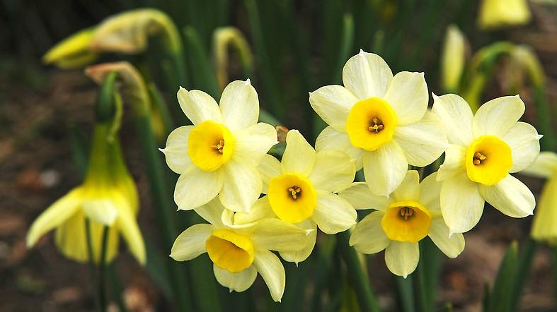 Co dělat s narcisy, když už odkvetly: Ustřihnout květ a pohnojit