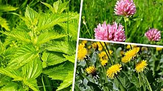 3 nejznámější byliny pro detoxikaci: kopřiva, pampeliška ajetel rostou na každé louce