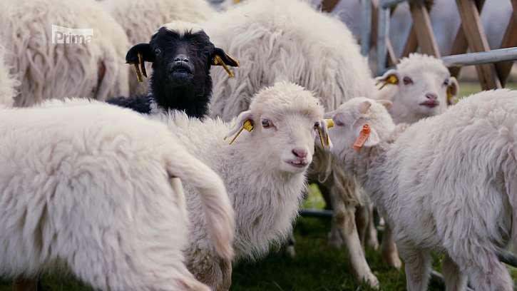 Ovce skudde