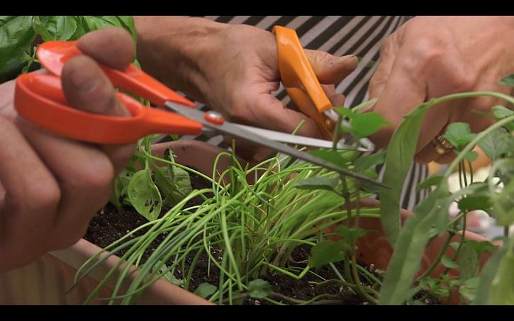Nůžky a nůžky… bylinky je potřeba zastřihnout…