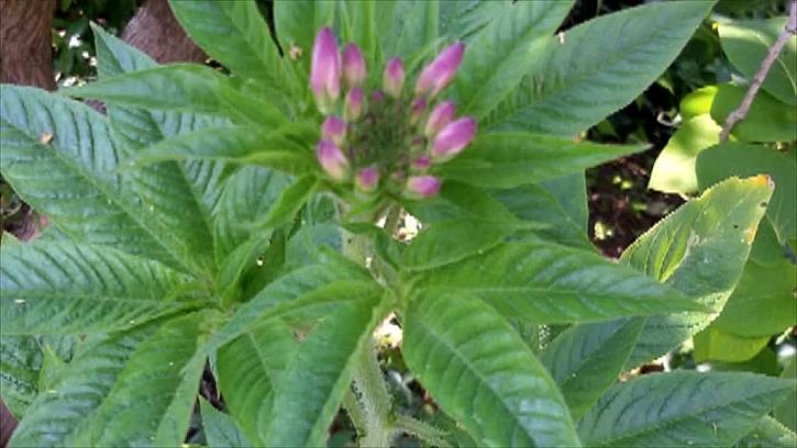 Květy luštenice hašlerové
