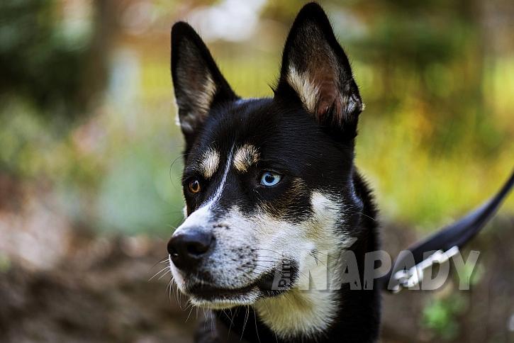 Jedno oko hnědé, druhé modré, častý znak huskyho