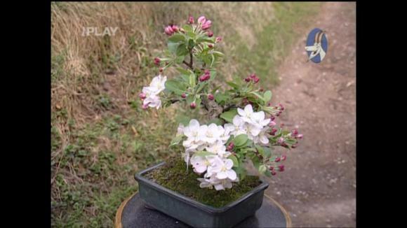 Jak pěstovat ovocné stromky jako bonsaje