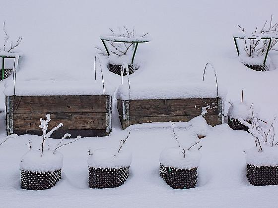 Sníh je sice dobrá ochrana rostlin před mrazem, ale sám o sobě nestačí (Zdroj: Depositphotos)