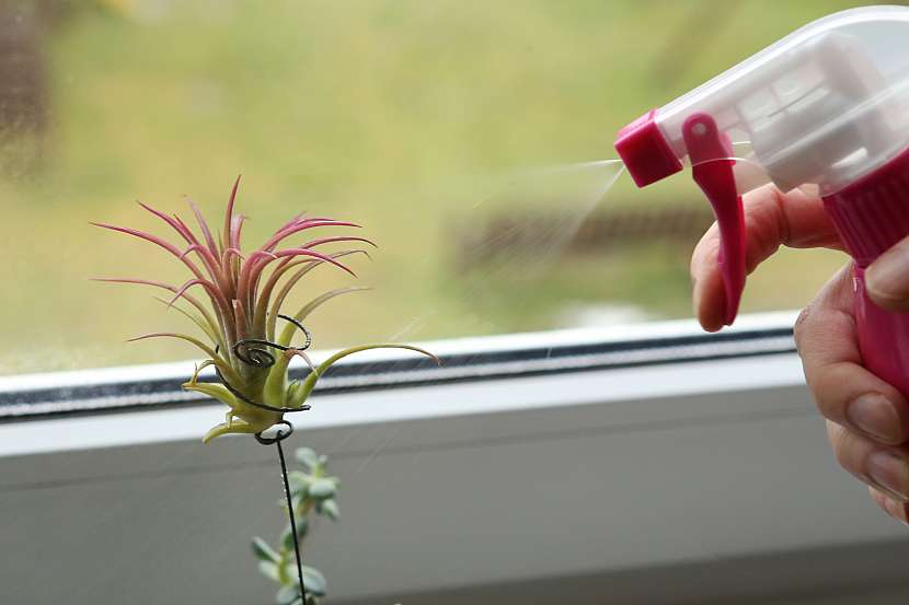 I když rostlina k životu nepotřebuje půdu, je nutné ji namáčet do vody a udržovat okolní vlhkost