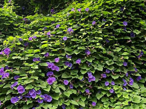 Povíjnice purpurová (Ipomoea purpurea) vytváří mohutný dekorativní porost (Zdroj: Daniela Dušková)