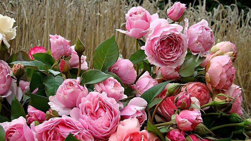 5 tipů na sázení růží: růže sadová (keřová) Gartenträume