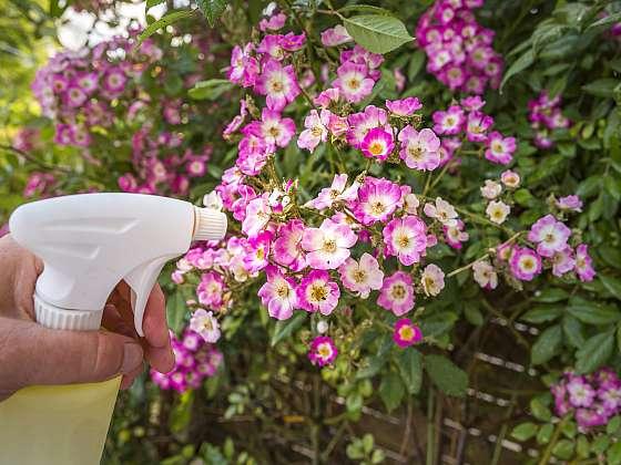 Květiny můžeme před mšicemi ochránit řadou přírodních prostředků (Zdroj: Depositphotos)