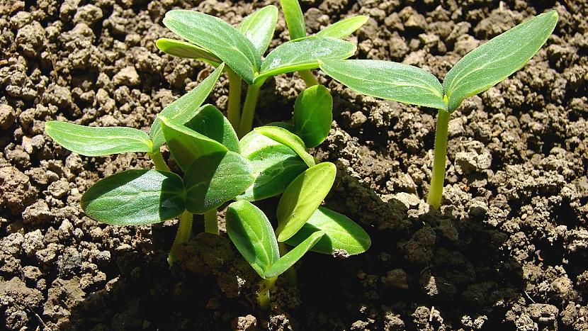 Jak pěstovat okurky: 3