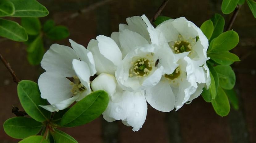 Bíle kvetoucí keře rozjasní každou zahradu 2
