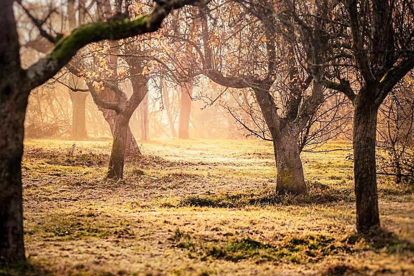 Některé ovocné stromy potřebují prořezat