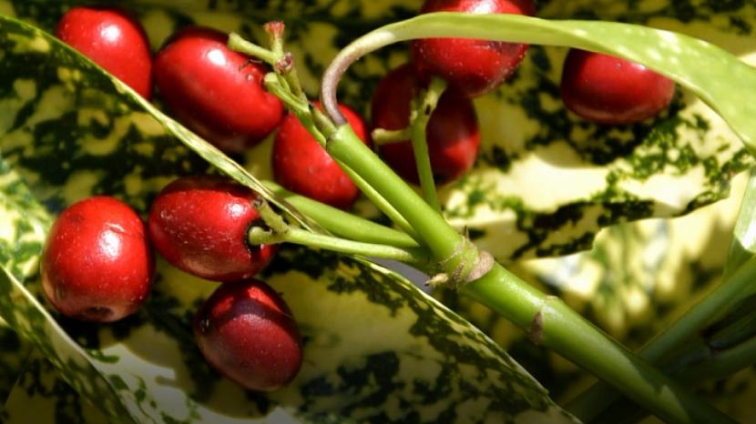 Plody aucuby
