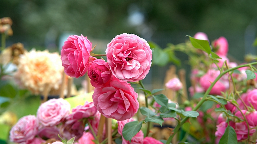 Růže ještě naposledy letos přihnojte