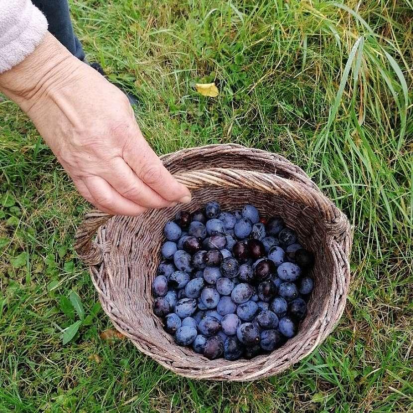 Pozdní odrůdy švestek sbíráme většinou během září