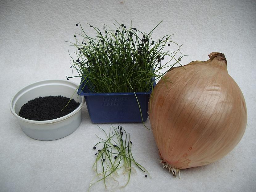 Pěstování cibule Globo z osiva