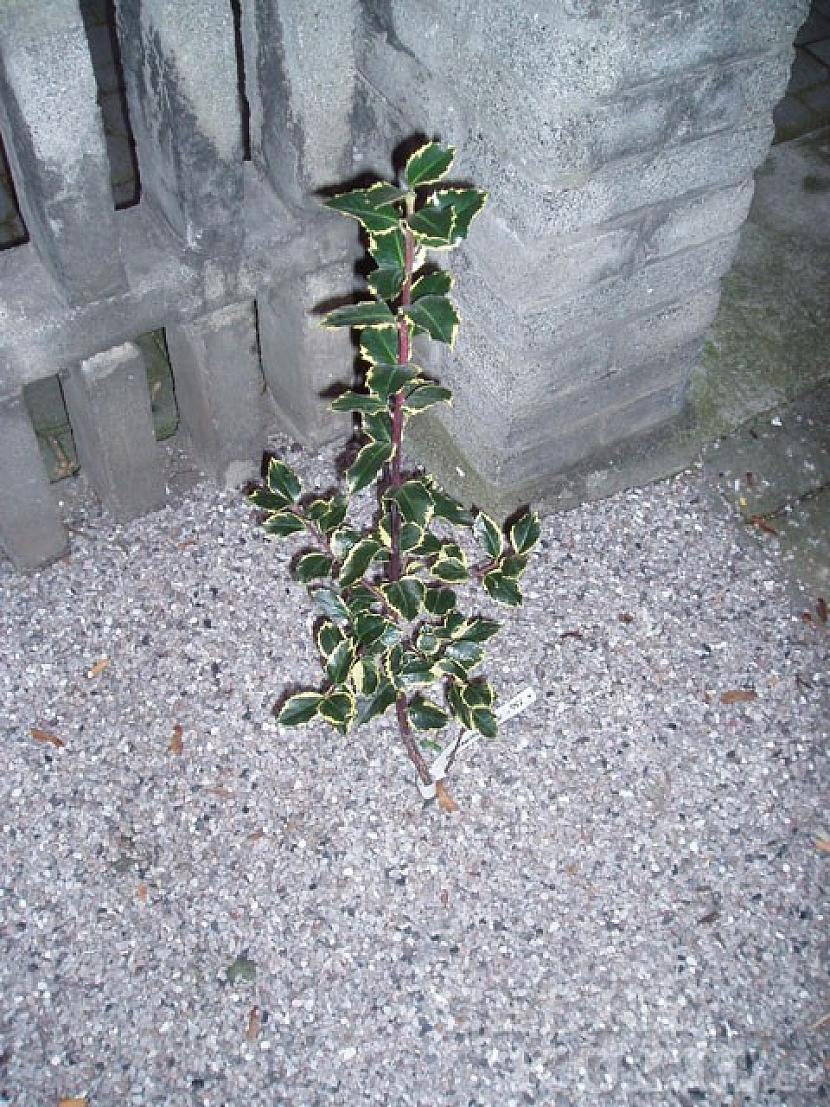 Další zástupci stálezelených rostlin