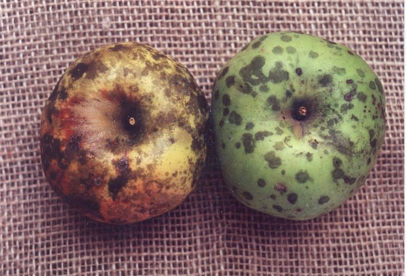 Původcem choroby je houba, která vytváří mastné černé skvrny