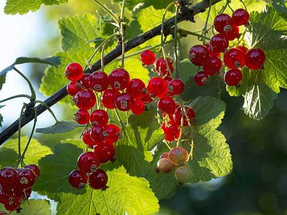 Drobné ovoce si můžeme namnožit pomocí řízkování (Zdroj: Depositphotos)