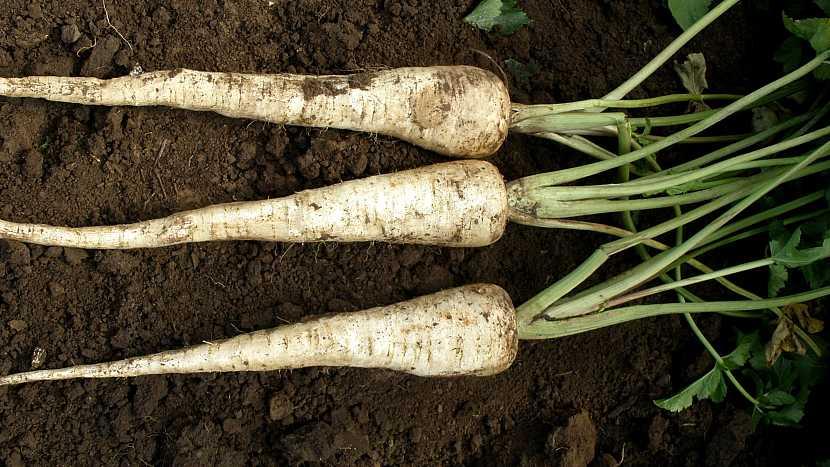 Pastinák setý (Pastinaca sativa), odrůda BIELAS s dlouhými bílými kořeny
