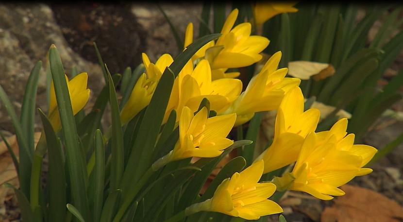 Sternbergie: Zářivá sluníčka pozdně podzimní zahrady 1
