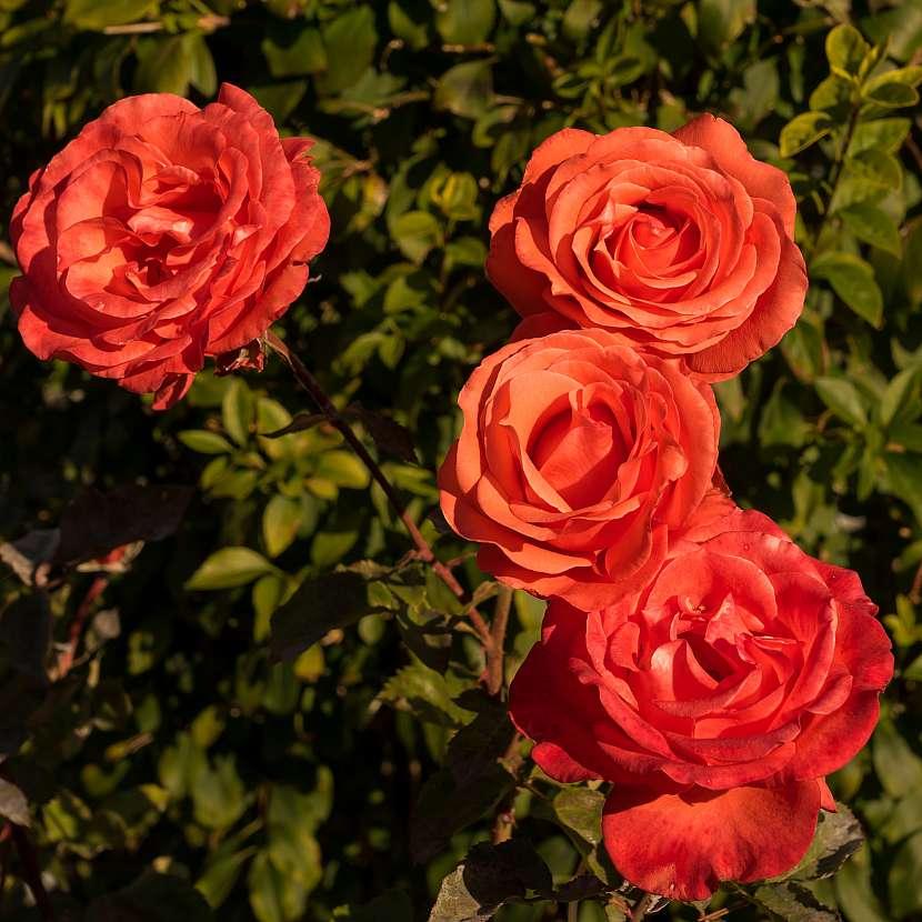 Růžím je potřeba věnovat opravdu dobrou péči, jen tak budou bohatě kvést
