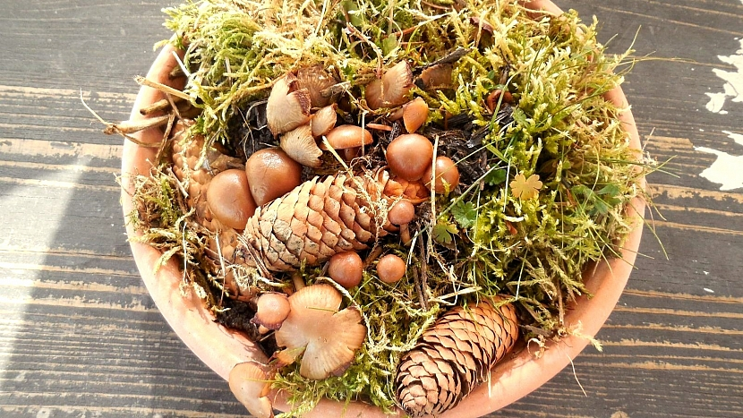 Jak pěstovat lesní houby doma za oknem: penízovka smrková po týdnu