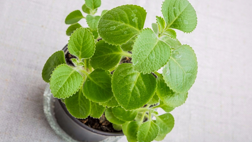 Domácí pěstování rýmovníku, správně je to molice (Plectranthus), zvládne každý