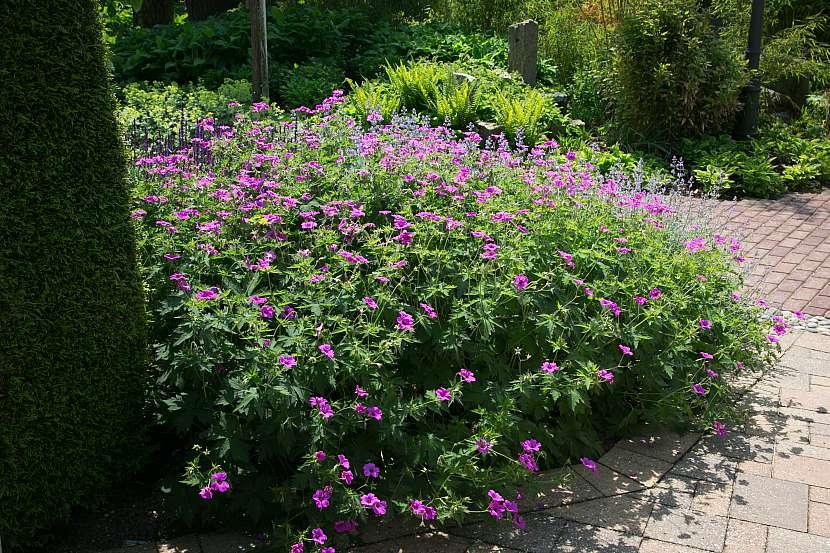 kakost dokonale pokryje půdu a bohatě kvete