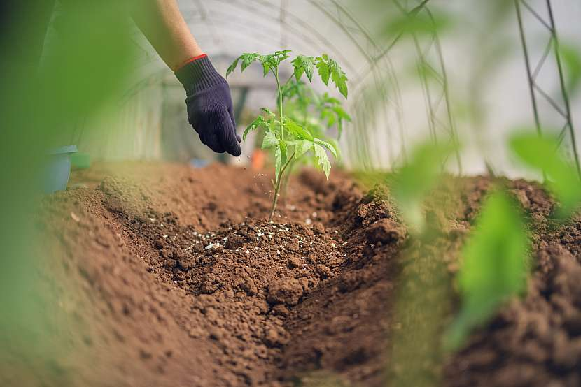 Hnojení rajčete