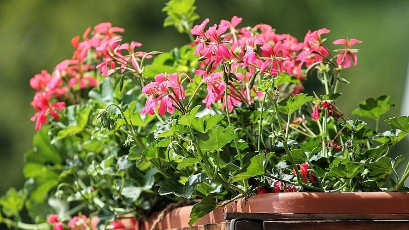 Předpověď počasí a zahrada: odstraňujte odkvetlé květy